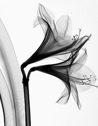 """Double Amaryllis"" • Steven N. Meyers (radiograph)"
