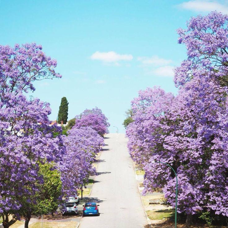 Jacarandas avenue in Perth, Western Australia...