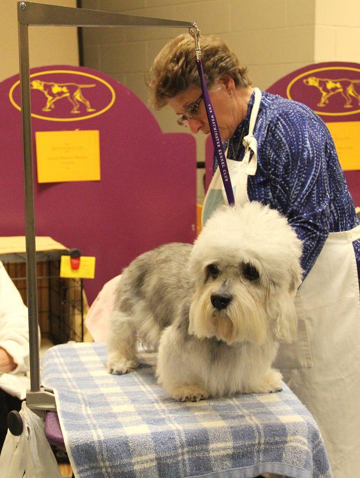 Dandie Dinmont Terrier at Westminster Dog Show