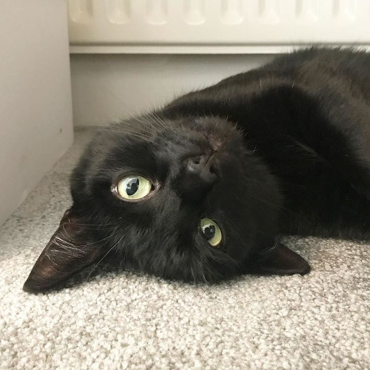 Sleepy Black cat with golden eyes...love the new beige carpet. Now I can roll around on it and make new black splotches