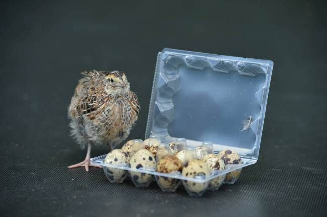 Rose the young quail emerged from one of a batch of eggs bought from Caterham's Waitrose supermarket last month. Chaldon, Surrey. See SWNS s...