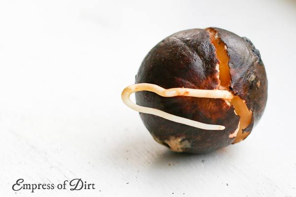 how to grow hass avocado from seed