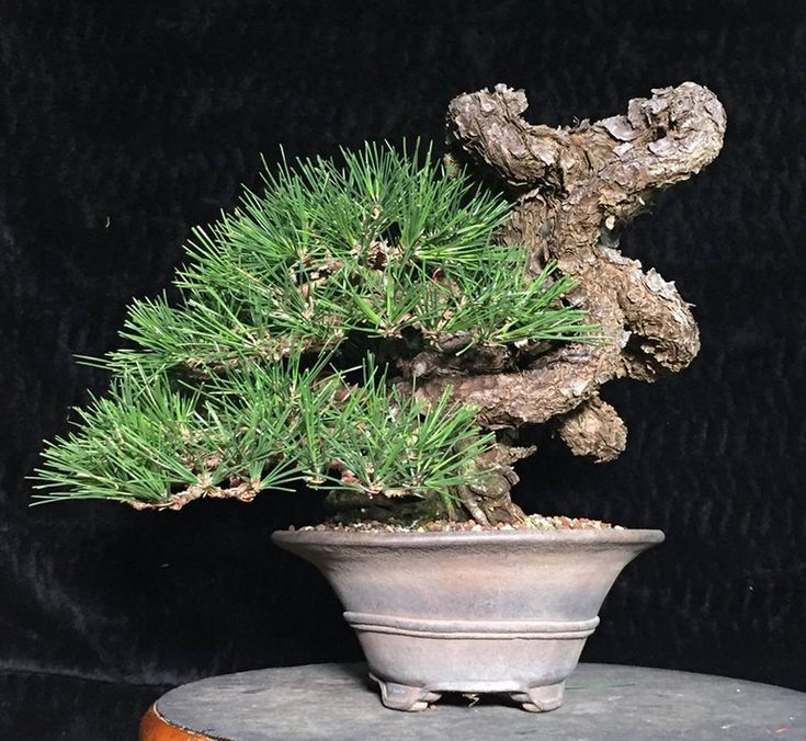 17 Best Images About Bonsai On Pinterest Trees Bonsai Trees And Prunus Mume