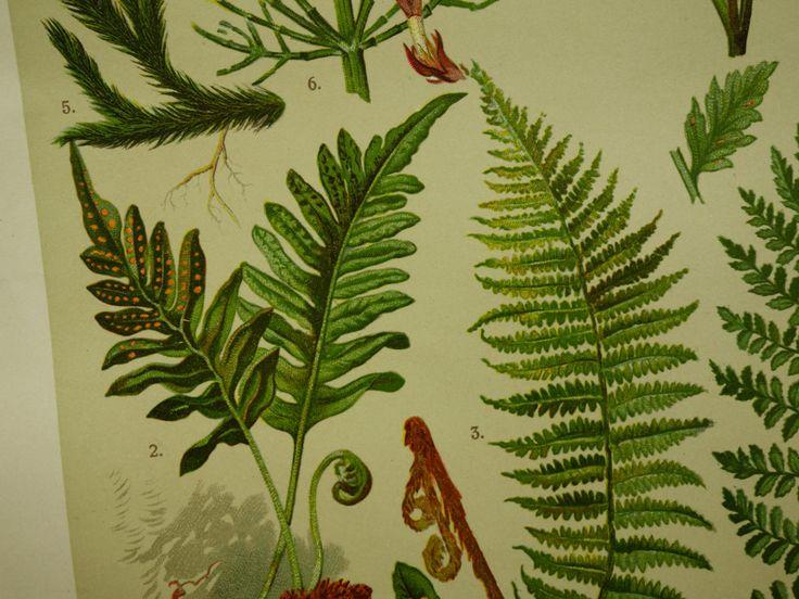 "Old botanical print about ferns fern clubmoss - 1911 vintage floral poster - affiche botanique botanische prent varens fougères - 8x11"" by DecorativePrints on Etsy"