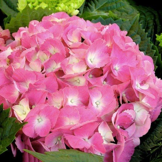 Endless Summer Hydrangea For Sale Online | The Tree Center