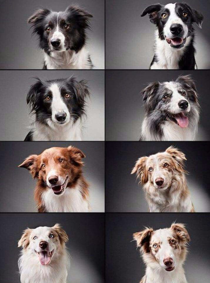Border collie variety