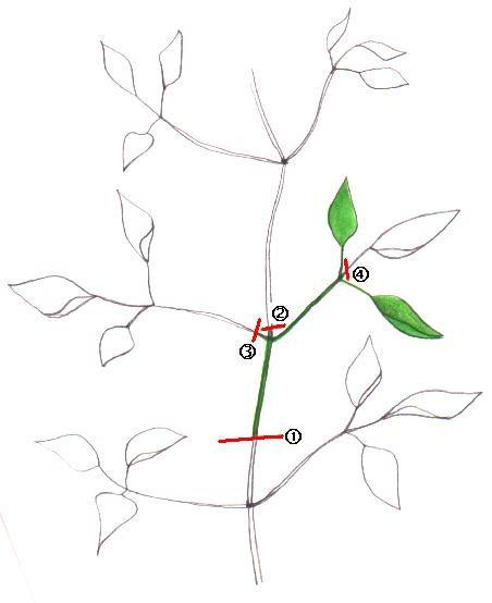 Taglio talea.jpg (452×554)
