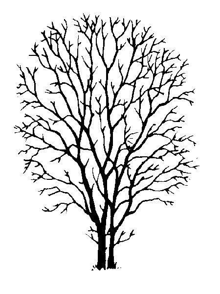 amelanchier feuilles aulne