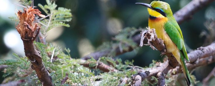 Mara Naboisho Conservancy: bee-eater