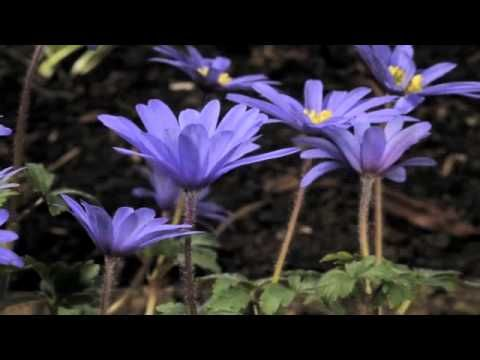 Anemone Blanda Atrocaerulea Flowers Opening Time Lapse Plants Plants Uk Flowers