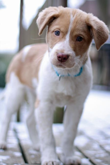 Hazel is too cute!! She's an Australian Shepherd Mix ...