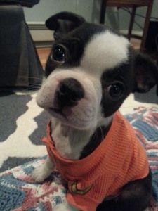 9 week Boston Terrier Puppy