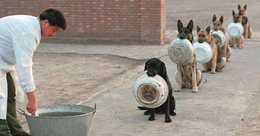 I cani poliziotto in Cina si mettono in coda per il cibo meglio di molte persone