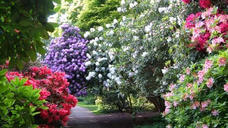 Rhododendron at Sheringham Park. I love to walk here.