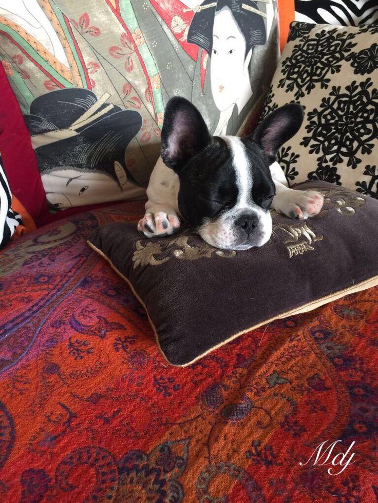 Mapple/ My French Little Bulldog Puppy. ❤️