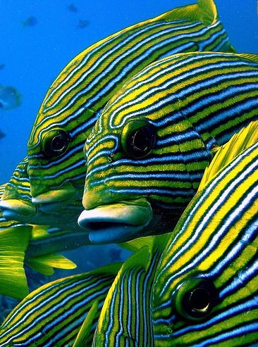 RIBBON SWEETLIPS or Grunts -  ©marika_treffert Sweetlips are usually found either singly or in groups hovering over the  reef during the d...