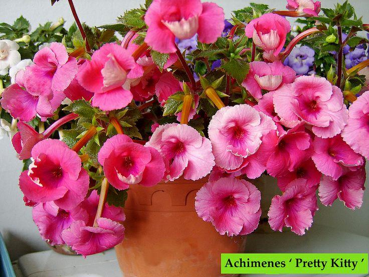 Achimenes ' Pretty Kitty ' - torpankukka