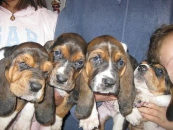 Donde Comprar un Basset Hound http://www.mascotadomestica.com/criaderos-de-perros/donde-comprar-un-basset-hound.html