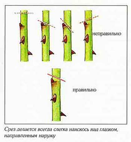 схема обрезки роз в октябре
