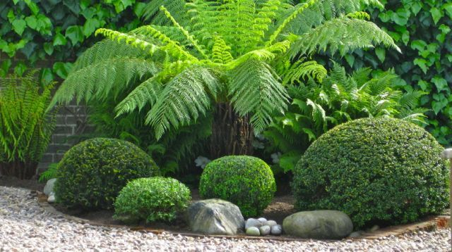 The use of Buxus and Dicksonia antartica transforms a neglected area and works well with the Ivy clad wall