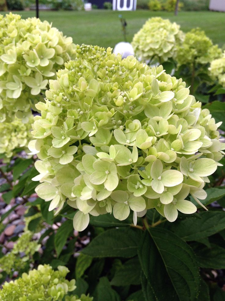 Panicled Hydrangea 'Little Lime' (Hydrangea paniculata)
