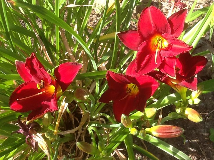 Red lilies 2013