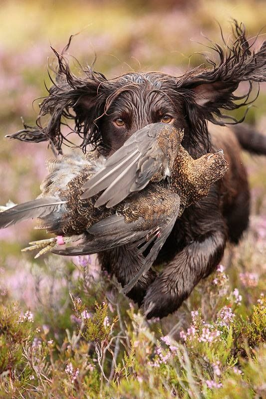 Field Spaniel on the retrieve