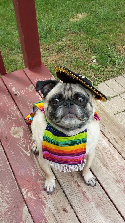 Disfraz mejicano carlino   -   Panchito Pugito