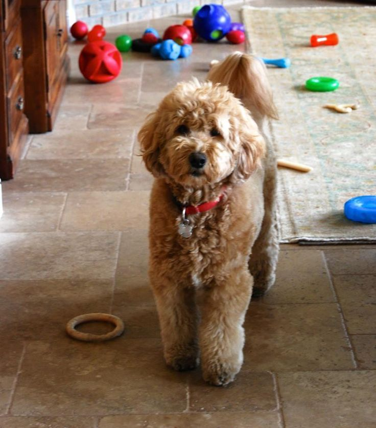 """Baxter """"F1 Medium Goldendoodle"""" wants to play....any takers?"""