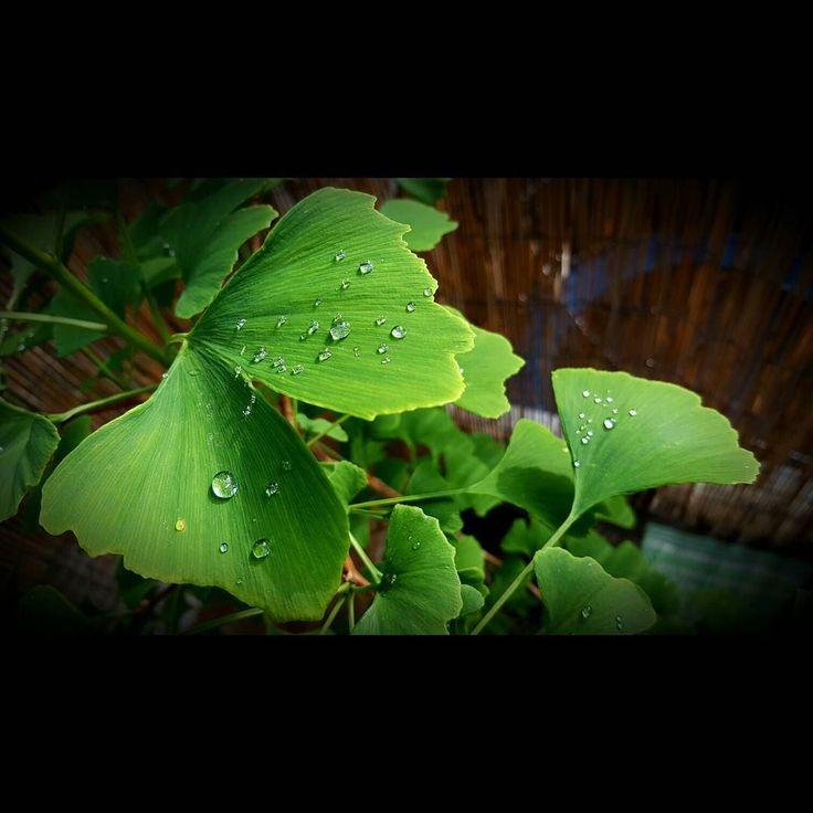 After the rain - Nach dem Regen  #gingko #leaves #grün #regen #rain #teardrops  #uwebwerner #meinewocheaufinstagram