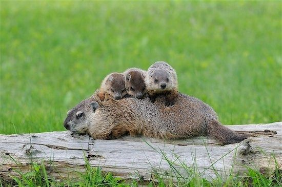 Cute groundhogs! I had a mother groundhog for had seven babies at my little farm in ohio. They lived under my barn.