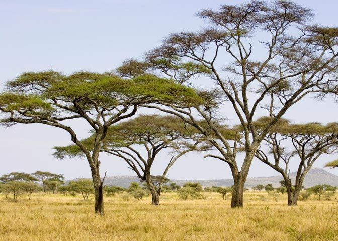 savanna research paper The savanna biome is a grassland ecosystem characterized by trees widely enough space to were the canopy does not close the open canopy allows for sufficient.