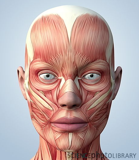 muscular system of the head science scene pinterest