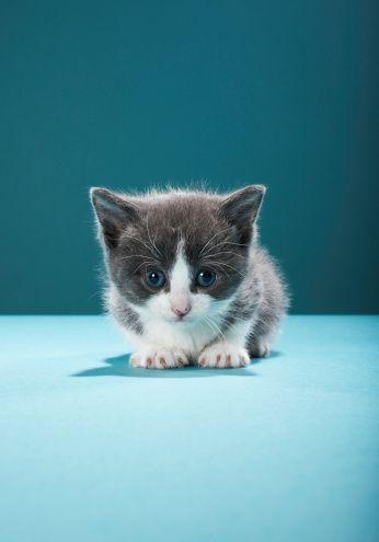 Kitten Peering Into Camera Stock Photo 83454860