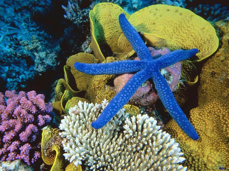 Обои для рабочего стола Голубая Морская звезда, Большой Барьерный риф, Австралия