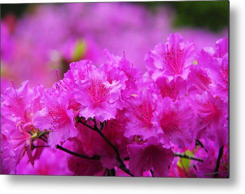 Azaleas In Keukenhof Botanical Garden. Netherlands Metal Print by Jenny Rainbow.  All metal prints are professionally printed, packaged, and shipped within 3 - 4 business days and delivered ready-to-hang on your wall. Choose from multiple sizes and mounting options.