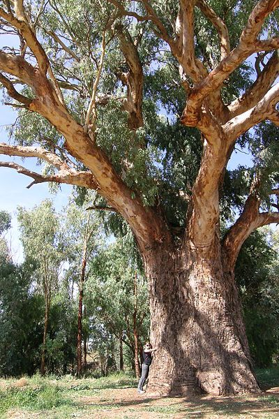 Orroroo, South Australia, giant Eucalyptus camaldulensis = This tree is amazing - My sister lives not far from here at a little place called Tarcoowie
