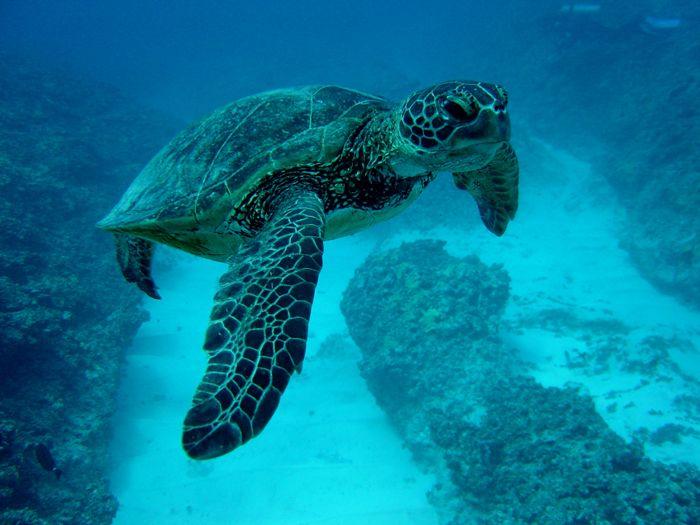 seae-turtle-blue