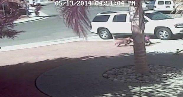 Gatto salva bimbo dall'attacco di un cane | Il video incredibile