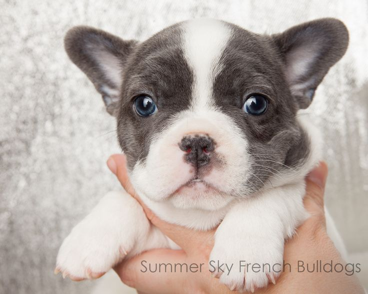 Ears are up! French Bulldog Puppy. Blue Pied. I have a
