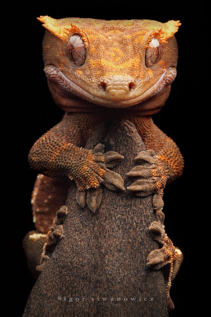 Crested gecko, by Igor Siwanowicz; this is just so cute he looks like what I think a baby dragon would like !!!