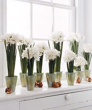 paper whites during the winter holidays