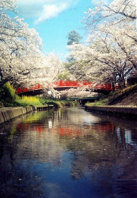 Sakura petals falling into the water in Japan