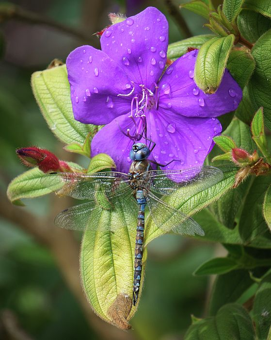 Art prints for sale: a blue dragon fly taking a rest on a rain drop covered flower.
