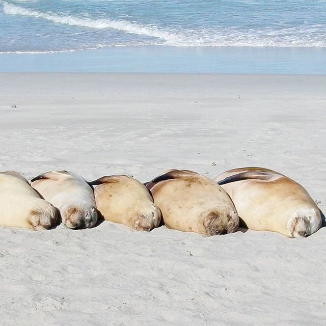 Kangaroo Island's Seal Bay Conservation Park is the only place in the world you can get up close to these sleeping beauties @SealBay #APTunforgettable #APTtheBest #SealBay #SeeAustralia #KangarooIsland #SouthAustralia #SA #OutbackWildernessAdventures #Travel