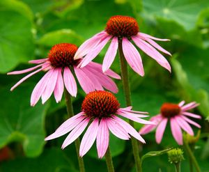 Recall nature's remedies! Echinacea (Echinacea angustifolia). Used for immune support, at the first sign of infection, boils, and flu prevention.