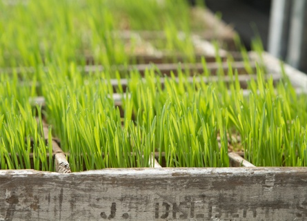 how to grow wheatgrass for easter