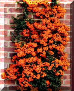 training trees against a wall | ... with orange berries which has been trained up a trellis on a wall