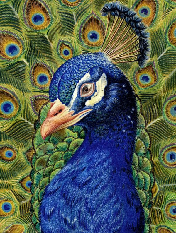 Realistic Peacock Drawing