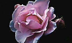 Existen más de 100 especies de rosas, así que una pequeña selección de las más hermosas no nos vendrá nada mal.